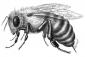 Фото эскиза тату: Пчела с жалом. .  Татуировки фото каталог.
